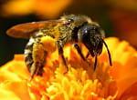 abeille jean renã© tuaud