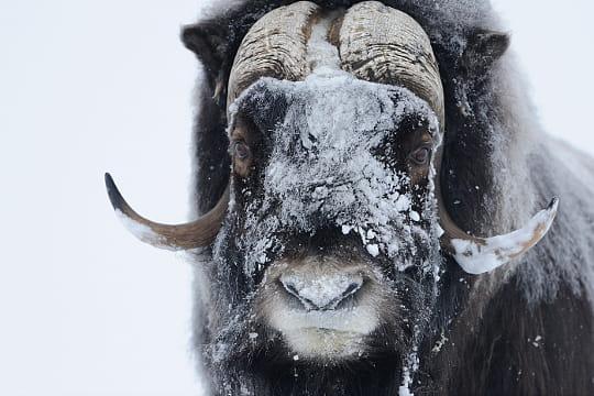 Buffalo Auto Group >> Peu aimable bœuf musqué : Sur les traces de Vincent Munier ...
