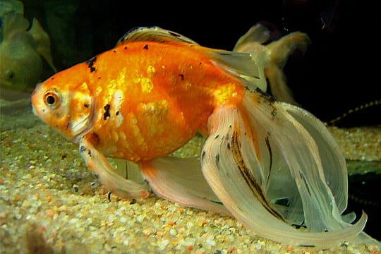 les voiles de v 233 ritables poissons d ornement r 233 ussir aquarium linternaute
