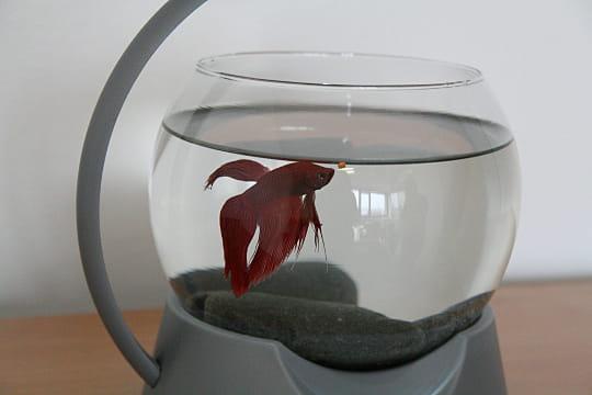 un poisson combattant l 39 internaute magazine linternaute. Black Bedroom Furniture Sets. Home Design Ideas