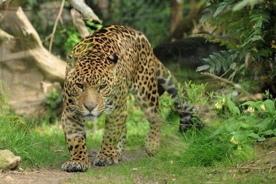 Fiche de quentin 12 - Bebe du jaguar ...