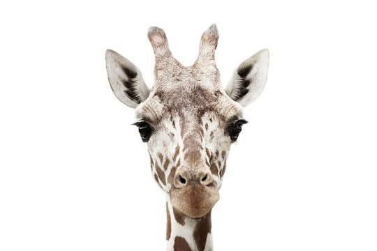 Candide girafe