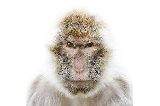 Regard colérique du macaque