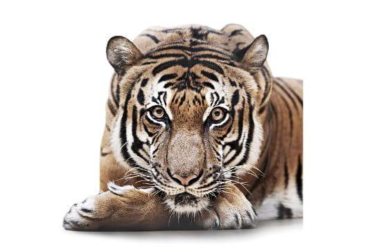 Tigre aux yeux hypnotiques