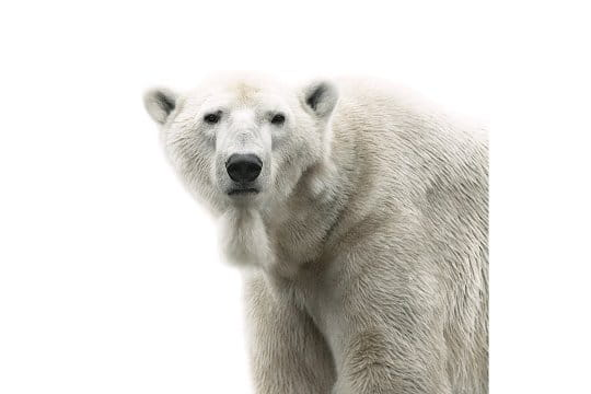 Ours blanc sur fond blanc