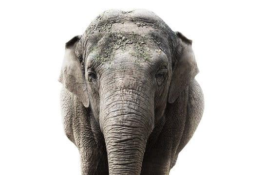 Regard de l'élephant