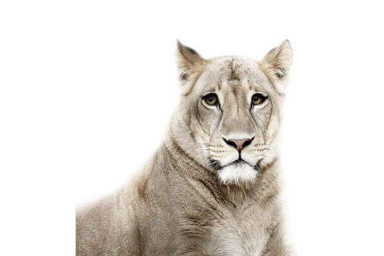 Portrait d'une lionne