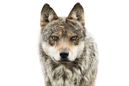 Oeil de loup
