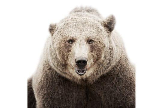 L'ours qui rit