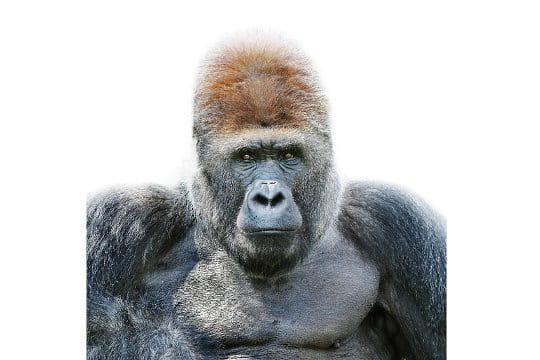 Un gorille pensif