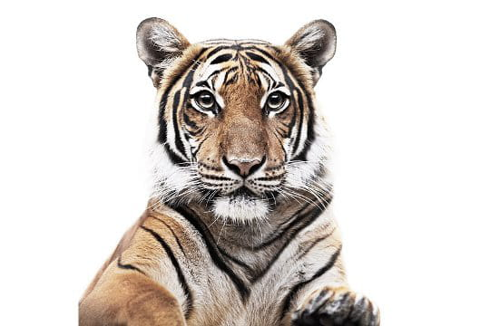 Yeux dans les yeux avec un tigre